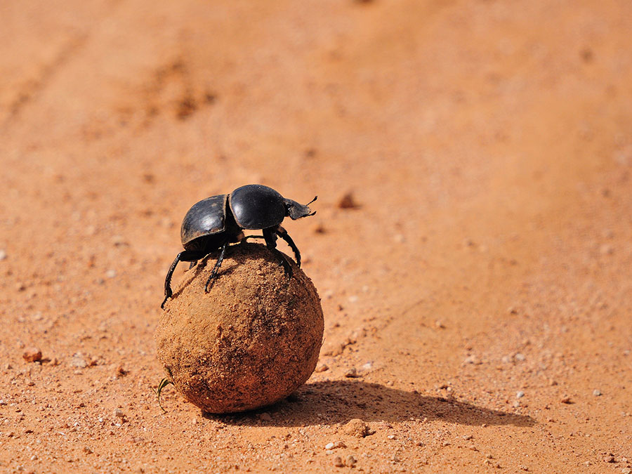 Dung Beetles take snapshot of the sky to orient themselves