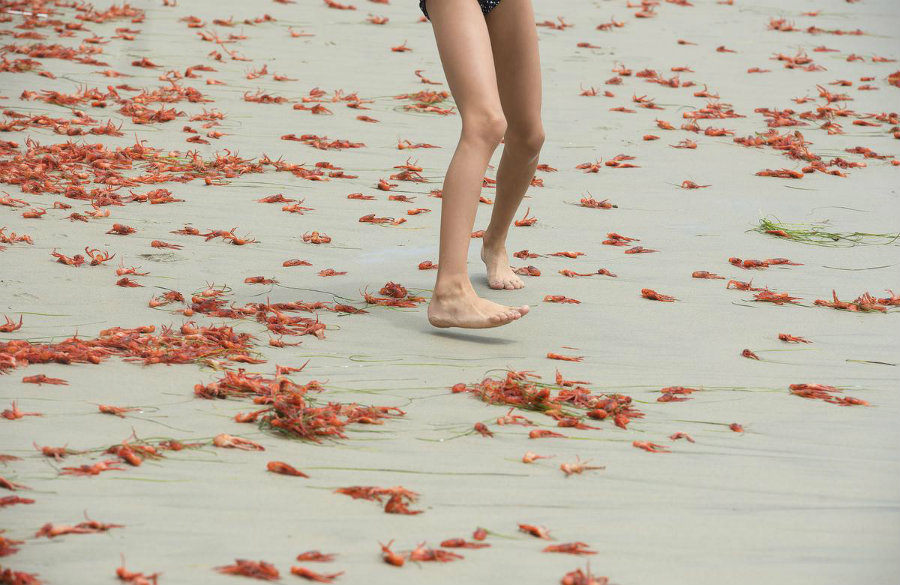 South California experimented an interesting situation in the beaches at the Orange County. This morning, the entire shore was completely covered in thousands of tiny red crabs. Photo credit: Cindy Yamanaka / The Orange county Register