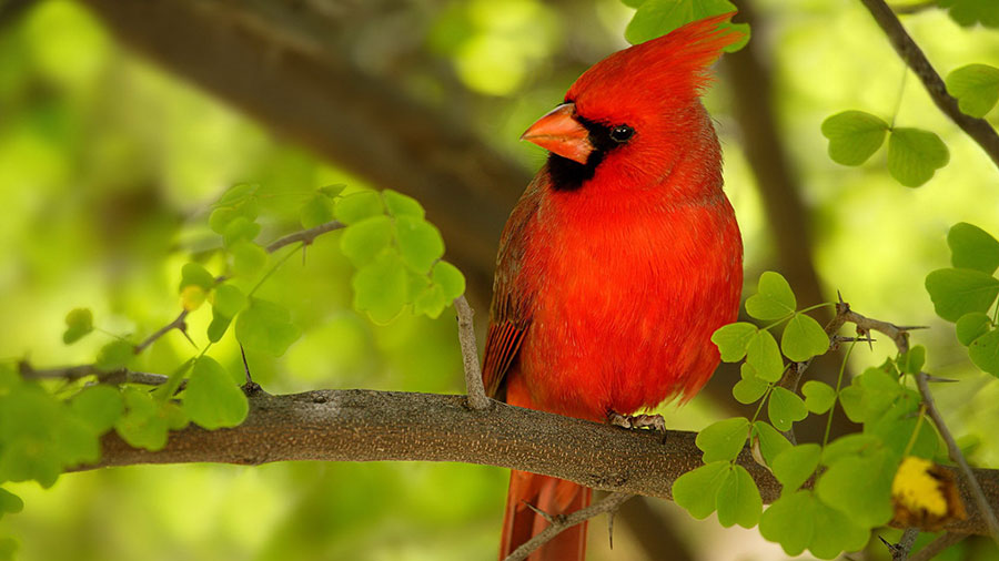 Birds' red color