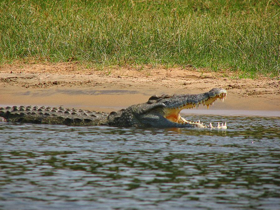 nile-crocodile-Florida