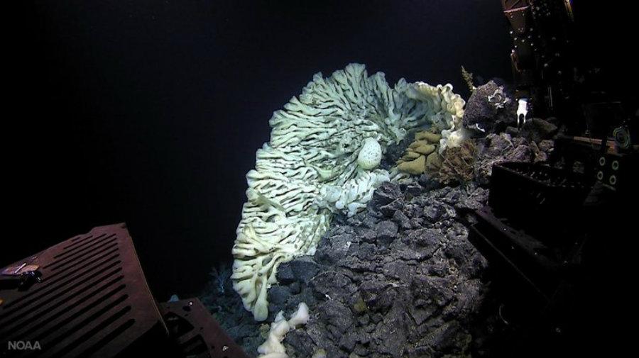 The National Oceanic and Atmospheric Administration found the world's biggest sea sponge while performing a deep-sea expedition with a remotely operated vehicle. Photo credit: NOAA / NPR