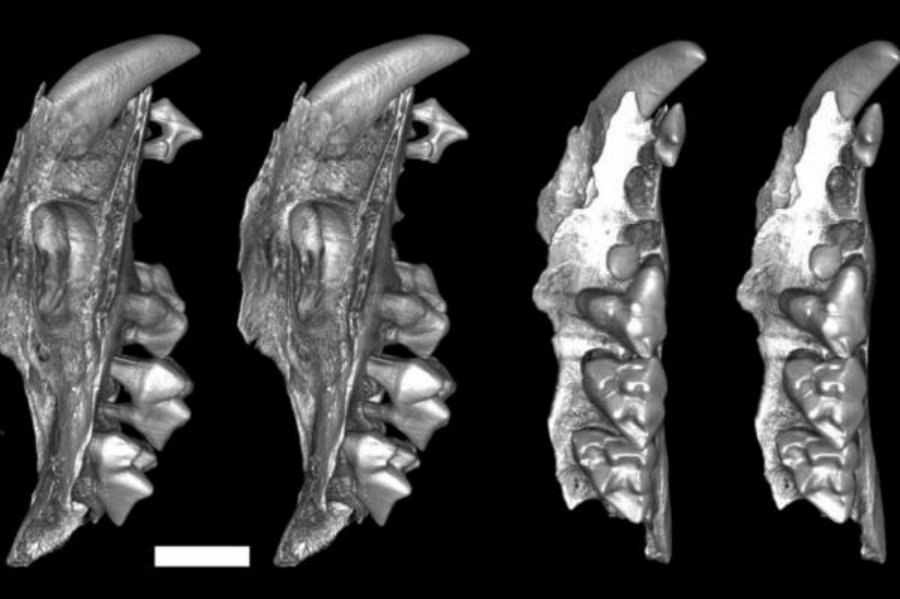 Research on the mammal's teeth structure has determined it had a larger premolar teeth similar to a modern day hammer used to crack open and feed on snail shells. Photo credit: Karen Black and Suzanne Hand / UNSW / UPI