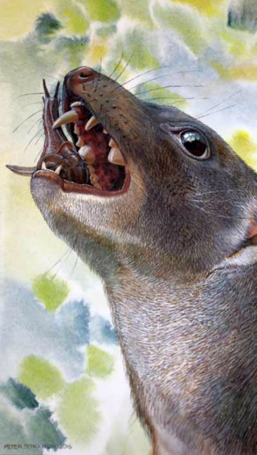 A never before seen species of an ancient mammal has been found in a cage at Riversleigh World Heritage Fossil Site in Australia. Image credit: Peter Schouten / Sci-News