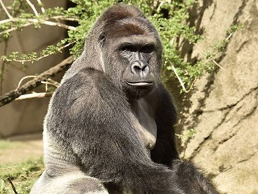 Harambe shot dead to protect child