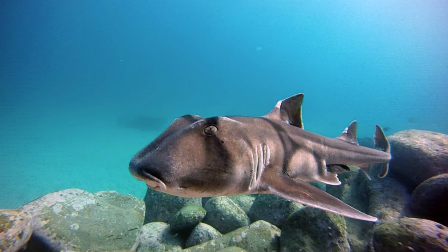 Researchers have found individual personalities in the Port Jackson sharks through a personality test study among several animals from the same species. Photo credit: Pierre Lord