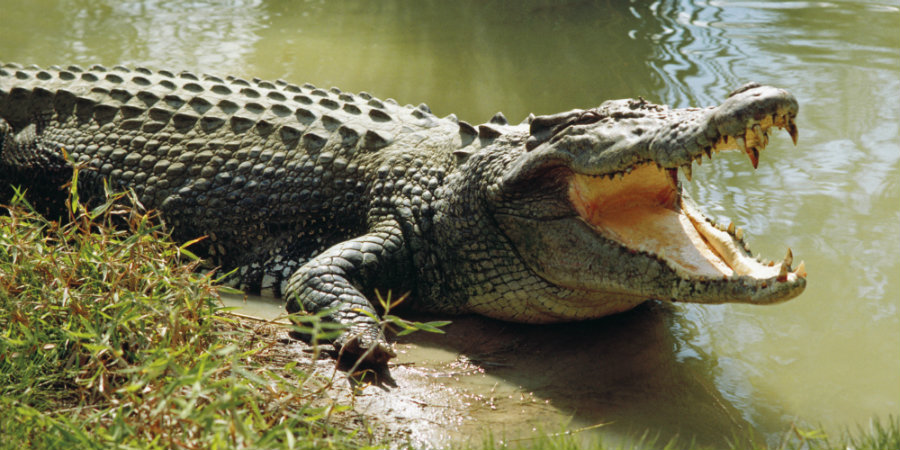 A 46-year-old woman was assaulted by a salt-water crocodile at the Thornton Beach which is part of the Daintree National Park. Photo credit: Huffington Post
