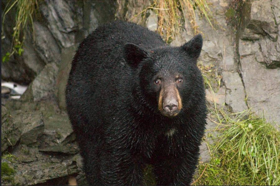 The black bear is one of the wild animals with the most deadly encounters in the U.S., considering the recent bear-related events. This occurrences usually end up with the animal being killed. Image Credit: CS Independent