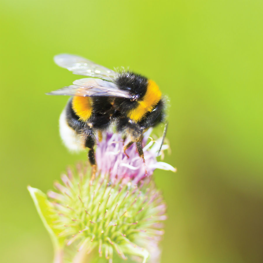 Bumblebees may be able to recognize electric signals emitted by flowers by the use tiny lightweight hairs connected to their nervous system. Photo credit: Cascade, University of Oregon