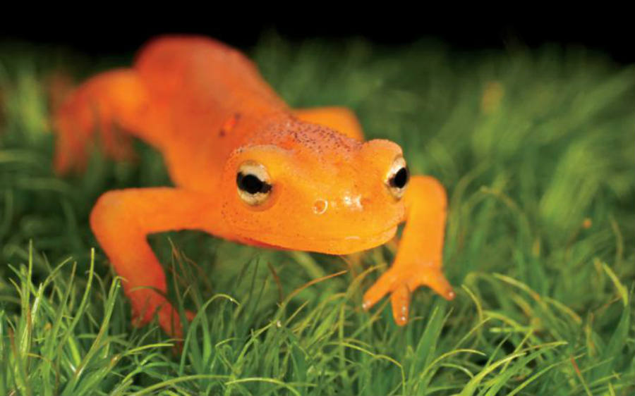 The newly reported fungus affecting salamanders and newts in the U.S. called Batrachochytrium salmandrivorans or Bsal