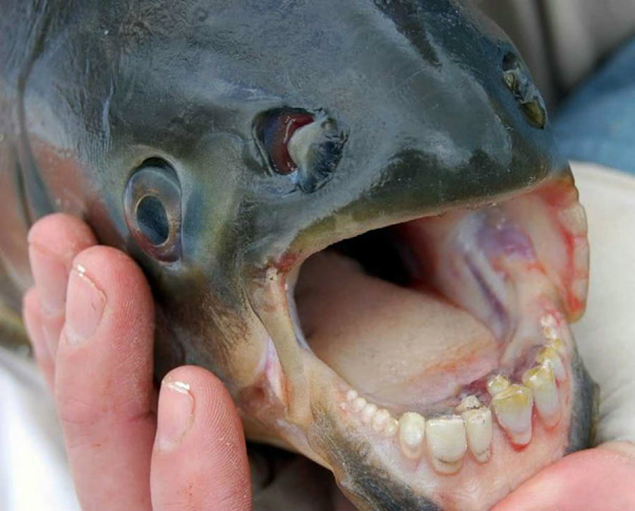 A fisherman from the northern Californian town of Petaluma reeled a strange looking fish on Tuesday. The fish belongs to a piranha-related family called pacu fish. Photo credit: SaltStrong