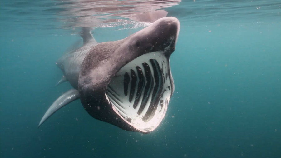 After whale sharks, basking sharks are the second largest species of its type. Photo credit: National Geographic