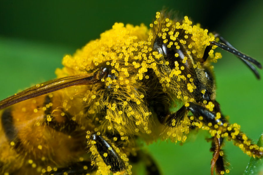 Researchers from Purdue University have discovered that honey bees are exposed to high levels of pesticides when they collect pollen from flowering plants placed near agricultural fields. Photo credit: Newton's Apple