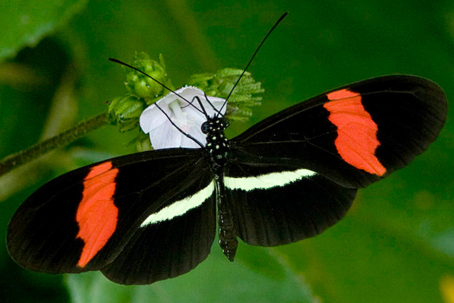 The Heliconius butterfly species have developed a collective form of defense that consists of showing off their bright colors and mimic one another's patterns. Photo credit: Bill Berthet / PhysOrg.com