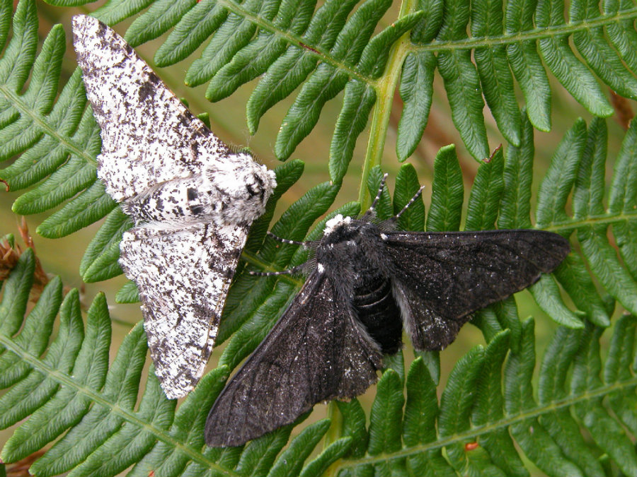 The genetic mutation took place around 1819, the researchers estimated after tracing the pepper moth's family tree. Photo credit: Katie Ph.D.