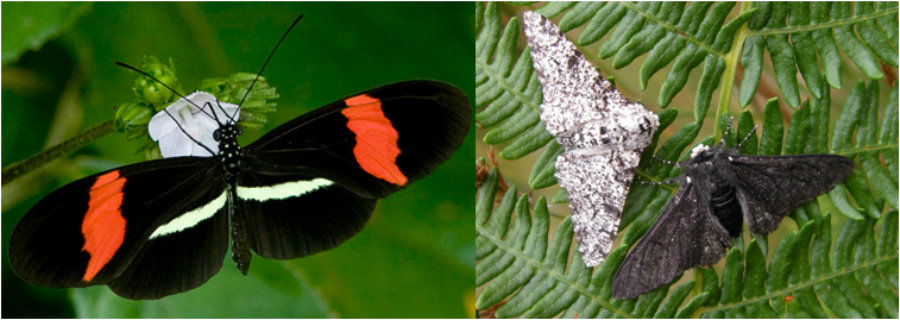 Two species of insects very different from each other have something in common: they used the cortex gene to change their appearances and survive. Photo credit: Right: Katie Ph. D, Left: Bill Berthet/ PhysOrg.com / Pulse Headlines
