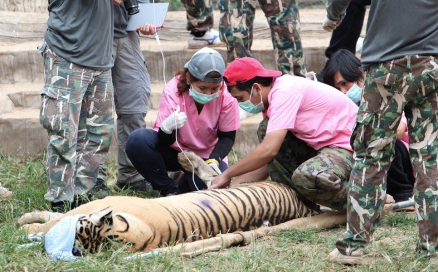 A few days ago, it was discovered that the Buddhist temple hid illegal wildlife parts from tigers and newborn tiger cubs, the process for their relocation started earlier this week.