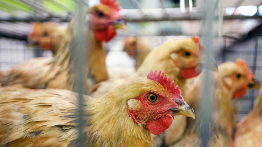 Yuen Kwok-yung, microbiologist, and professor at the University of Hong Kong, told South China Morning Post that it is unusual to see biological samples from the markets testing positive for a bird-flu strain during the summer.
