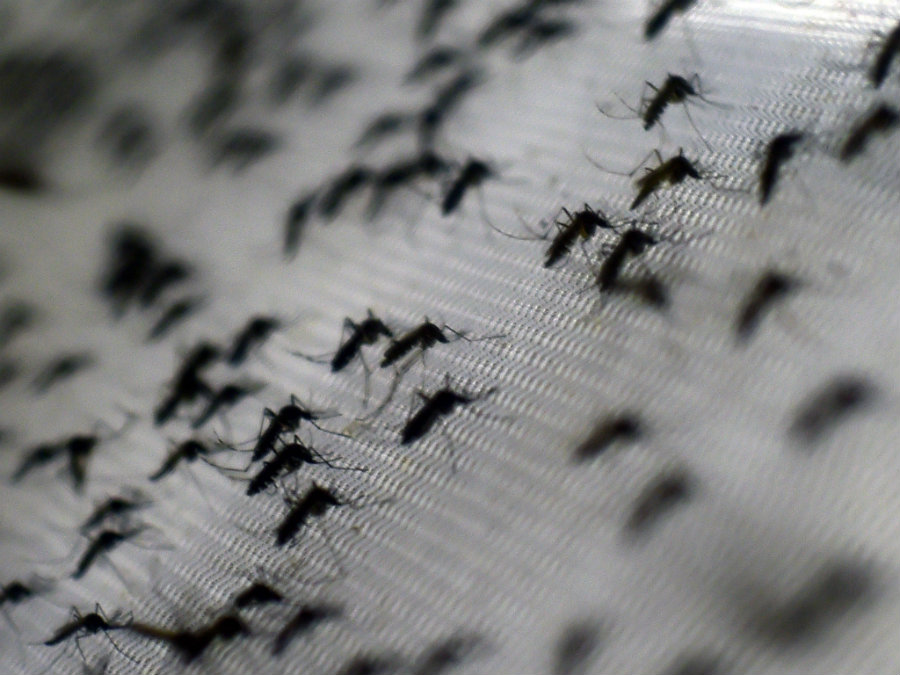 Scientists are wondering if it's possible to eliminate an insect's genetic traits that are harmful to humans, for instance, the genetic elements that lead mosquitoes to spread diseases such as Zika and Dengue. Photo credit: Christophe Simon / AFP / Getty Images