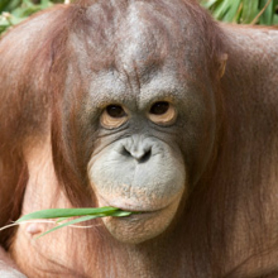 The National Zoological Park celebrated on Tuesday the pregnancy of Batang, a 19-year-old Bornean orangutan. Photo credit: Smithsonian National Zoo / Washington City Paper