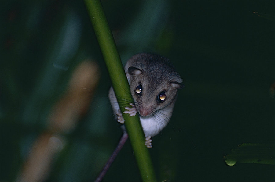 The Bramble Cay melomys or mosaic-tailed-rat, a mammal species, has become extinct due to human-caused climate change. Photo credit: Bernard Dupont / Wikimedia Commons