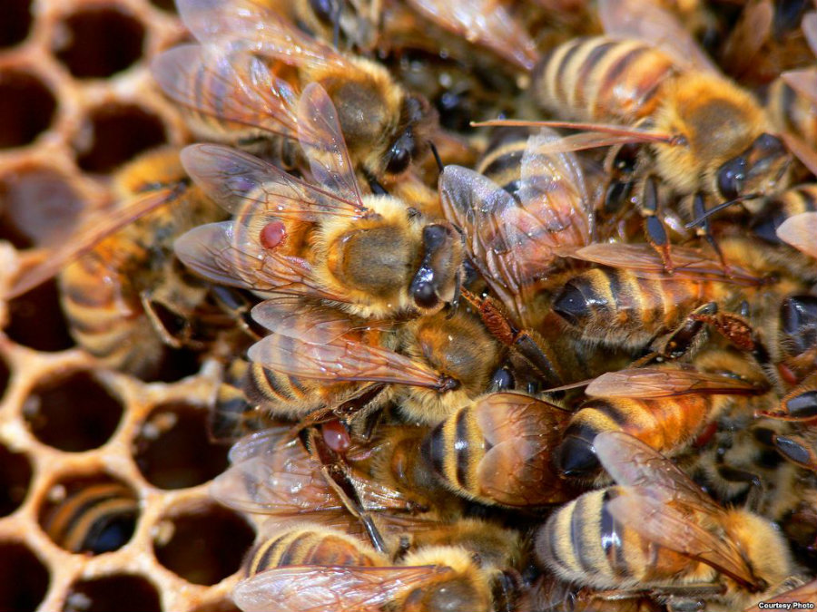 Unfortunately, honeybee populations continue to drop exponentially across the United States. Many other countries are currently dealing with similar issues, leading beekeepers to try and bread stronger bees. Image Credit: VOA News