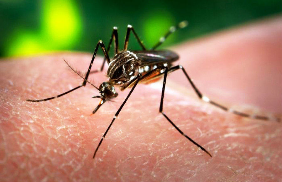 The mosquito that can carry Zika is the Aedes aegypti. This type of mosquito lives mostly in the South and Southwest areas where the tropical weather is predominant. Image Credit: AAP
