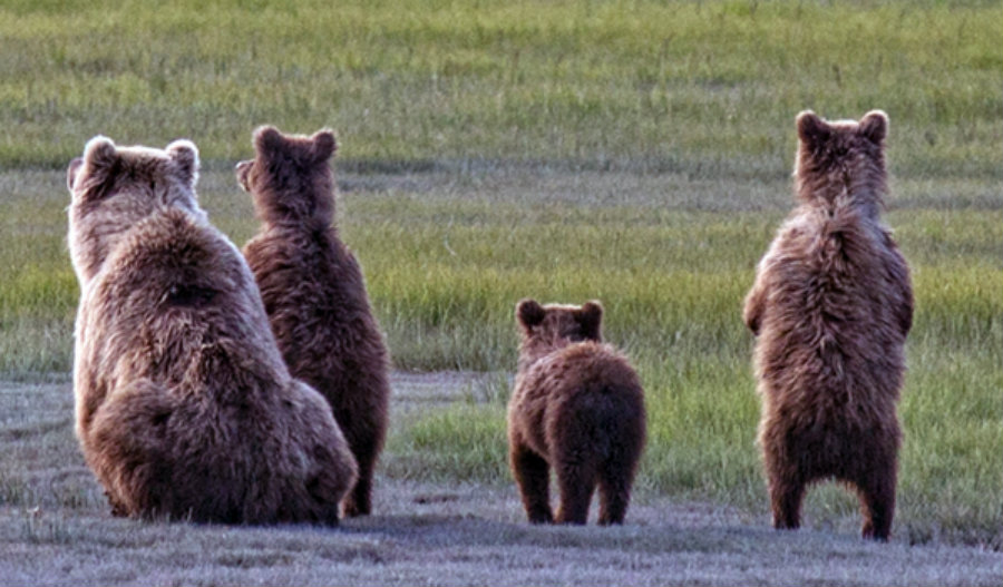 Last year, black bears had little chances to get a similar verdict when the wildlife commissioners voted 6-1 carry out the first hunting season in the state in 21 years. Image Credit: Libra Lion Heart