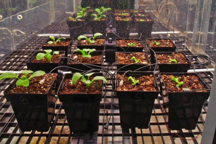 Astronauts have already achieved the incredible, as they have succesfully grown many vegetables. Among the popular, astronauts have achieved to germinate lettuce plants, potatoes and more. Image Credit: DR's Space for Astronomy
