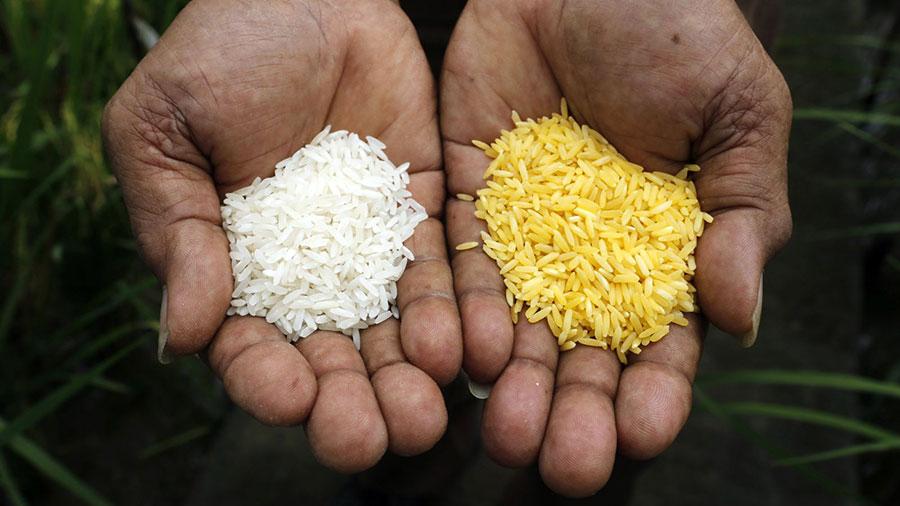golden-rice-green-peace