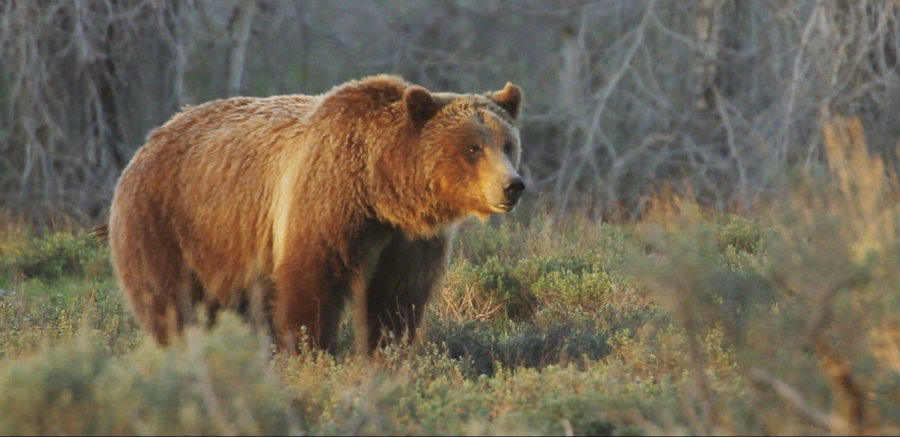 In the past few months, black bears as well as grizzly bears have been in the public's eye for attacking someone, or for being hunted. Nevertheless, the traditional 'bear hunt' has been postponed until further notice. Image Credit: ABC News