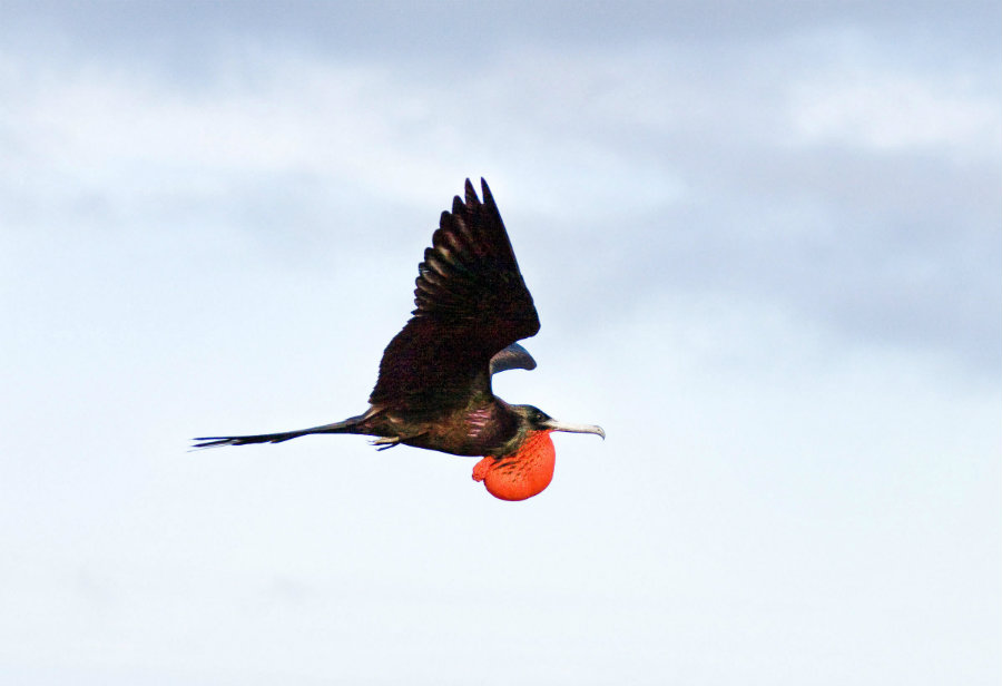 The famous frigatebird is known for being able to fly continuously for weeks or even months, a lot more than other birds that can only do it for a couple of days. Photo credit: Audubon