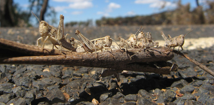 Locusts natural drones