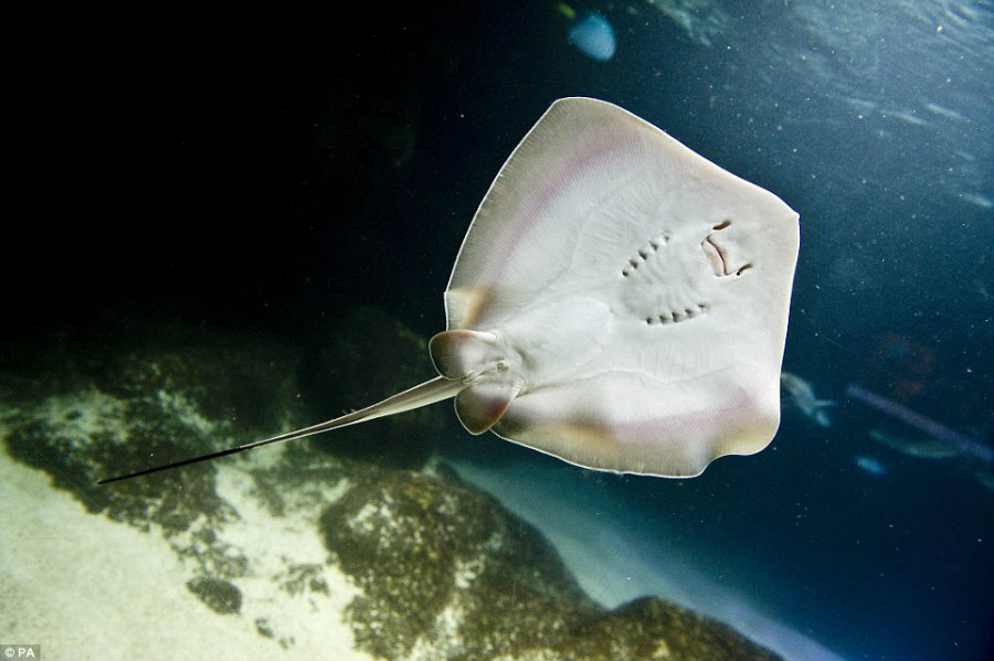 The robotic stingray's technology is the closest to replicate a live organism in terms of capacity to locate and being able to move independently. Image Credit: Daily Mail