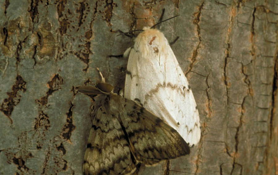 Some of the moths broke free and made themselves comfortable. In fact, absent the natural predators they had back at home, Both Asia and Europe, they thrived eating everything in their path. Image Credit: Uwex