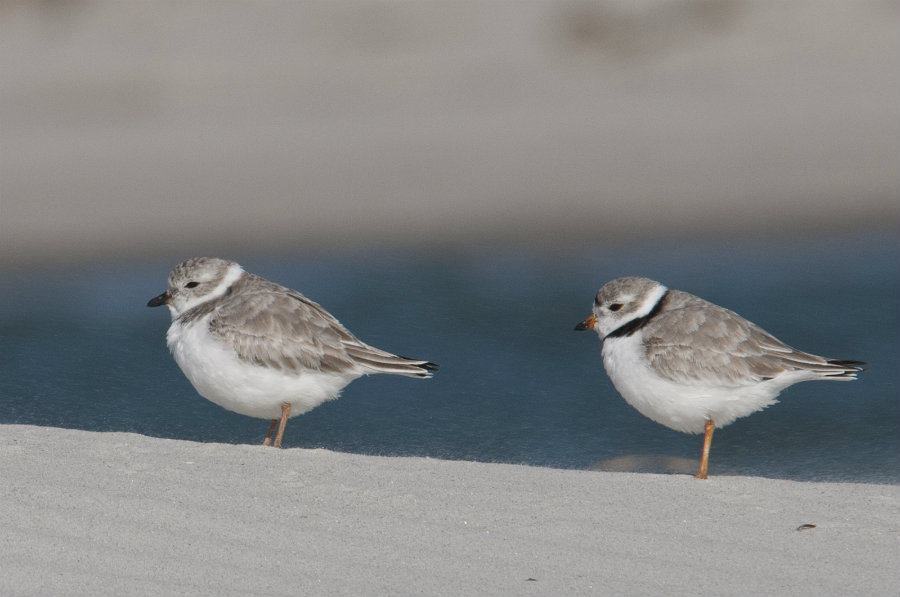 Federal authorities have announced on Friday a long-term management plan to allow communities over the East Cost to reopen beaches typically closed during nesting season for the piping plovers. Photo credit: Audubon