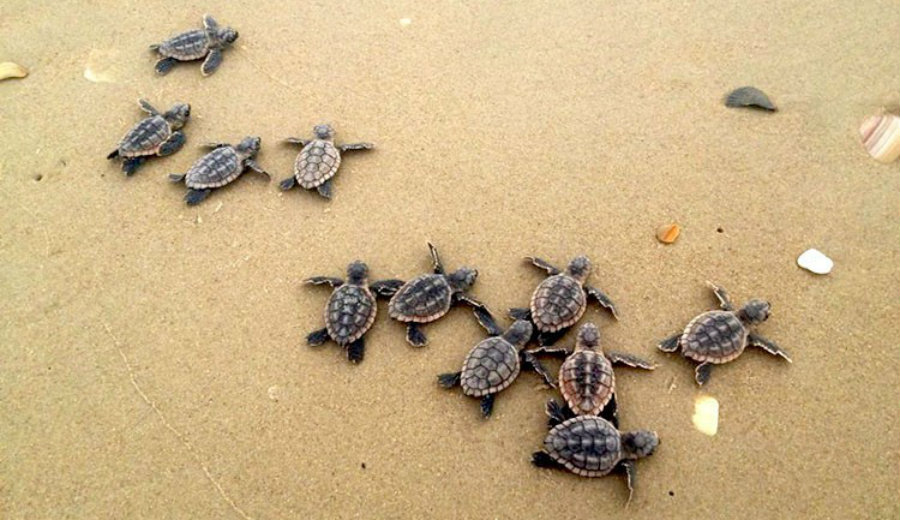 This year Georgia registered a record nesting season of loggerhead sea turtles. It was in 1989 when the state began an absolute nesting count as an effort to help the threatened species. With 2810 nests, Georgia's turtles surpassed the 2,800 nests goal set to reach by 2020. Image Credit: Eco Watch