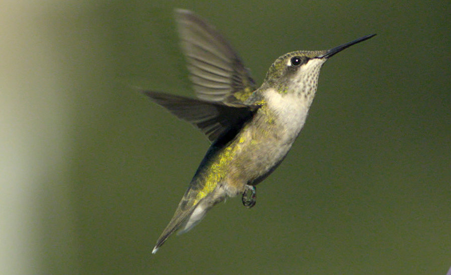 Hummingbirds have amazed scientists for years for their incredible display of speed and flight control. However, hummingbird's eyesight could hold the key for avoiding high-speed collisions. Image Credit: NY Times